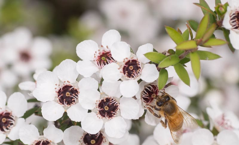 Bee sitting on manuka flower